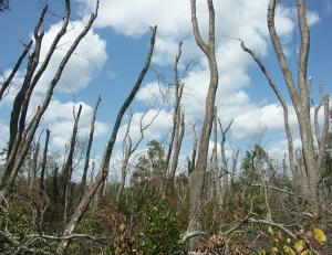 Laurel wilt mortality in redbay, Evans County, Georgia